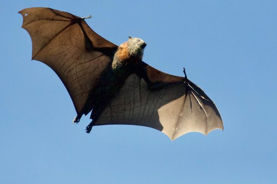 A new genetic analysis of the Wuhan virus may be related to bat-derived coronaviruses
